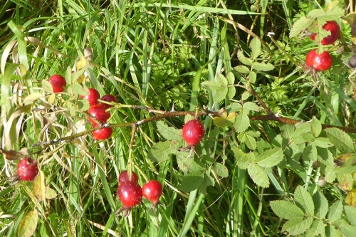 rose hips cubbyhill