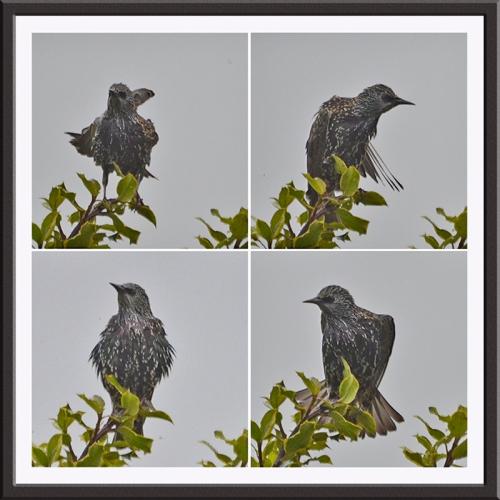 scrubby starling