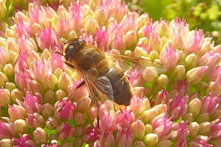 sedum and insect