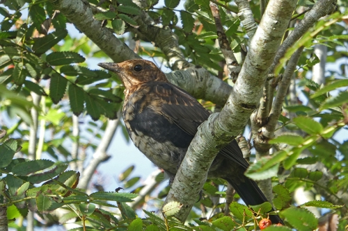 shady blackbird in rowan