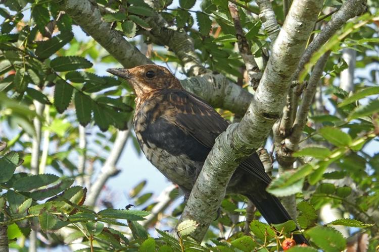 shady blackbird in rowan