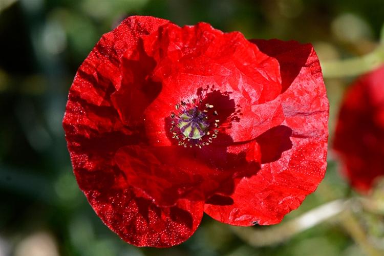 shady poppy