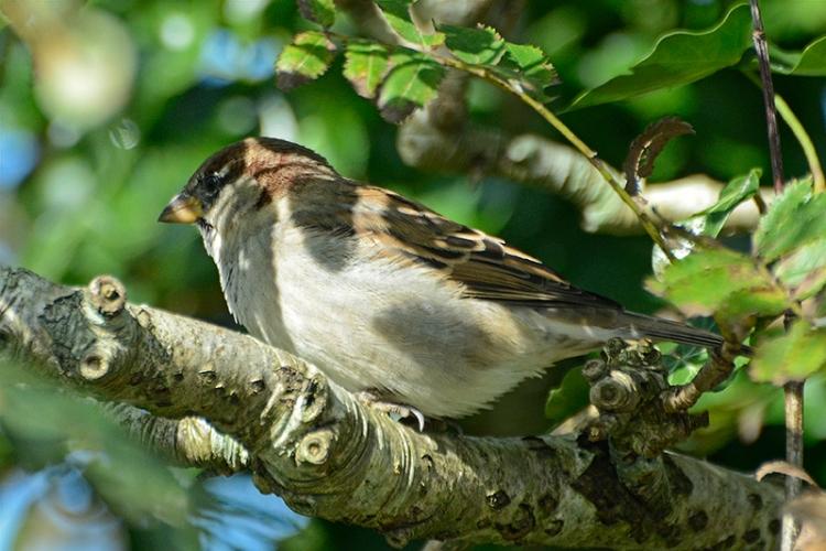 shady sparrow in rowan