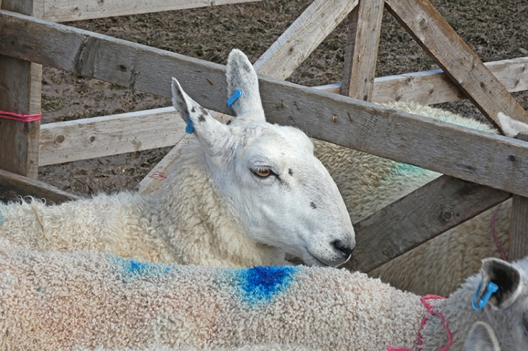 sheep at ag show