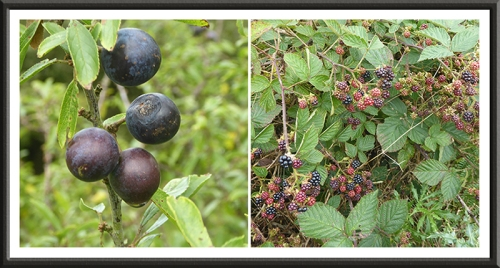 sloe and bramble