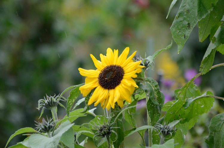 soggy sunflower