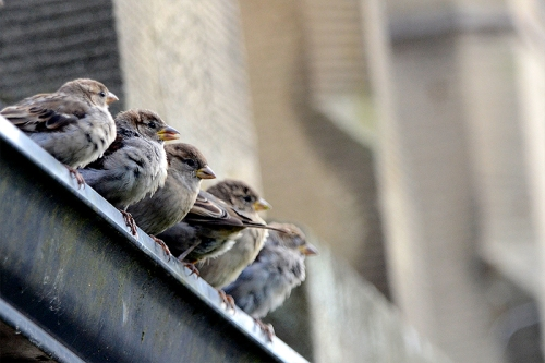 sparrows on gutter