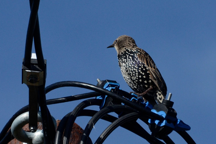 starling among wires
