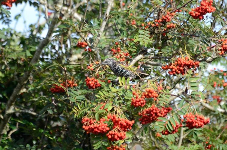 starling in rowan 1
