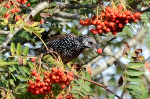 starling in rowan 2