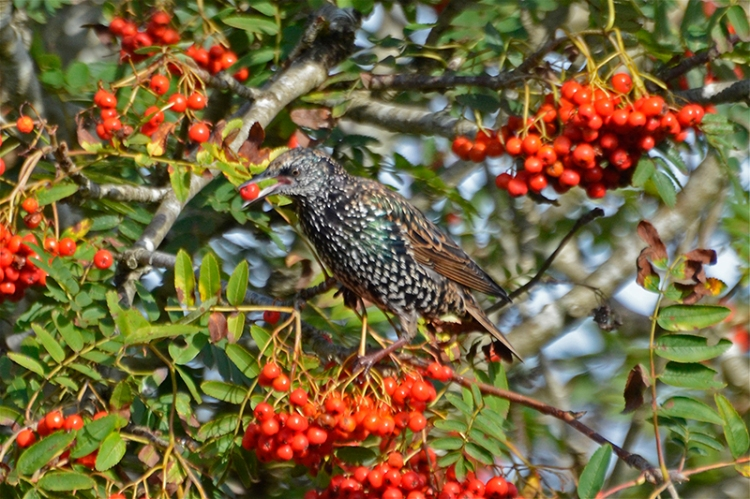 starling in rowan 3
