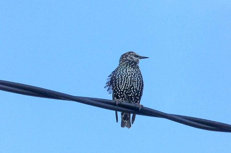 starling keeping watch