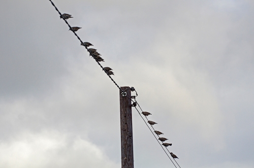 starlings on wire