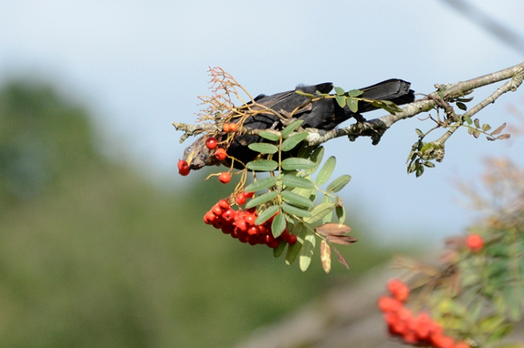 stretching for a berry
