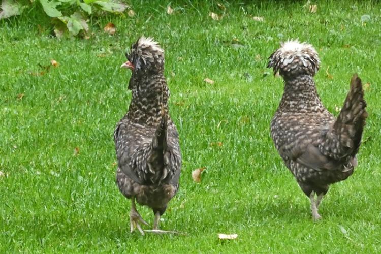 Sue's hens