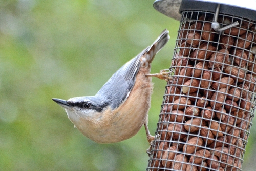 Sue's nuthatch 1