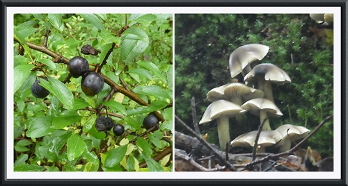 Sue's sloe and fungus