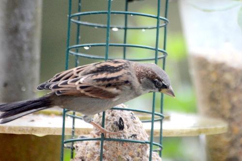 Sue's sparrow