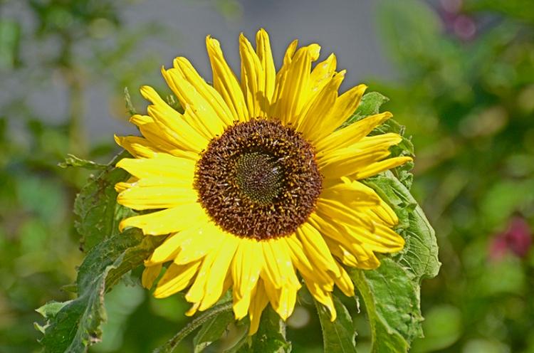 sunflower on fence