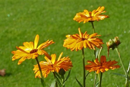 sunny calendula