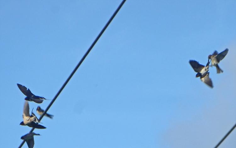 swallows disturbed