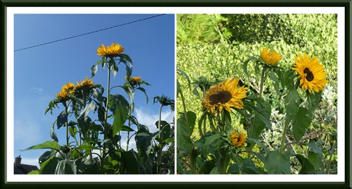 taall sunflowers two views