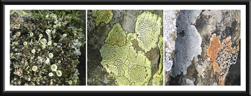 three benty lichens