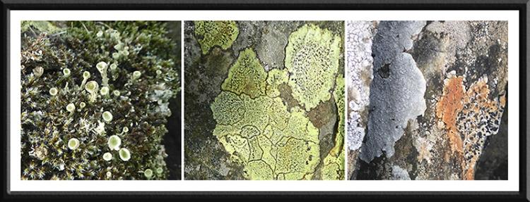 three benty lichens