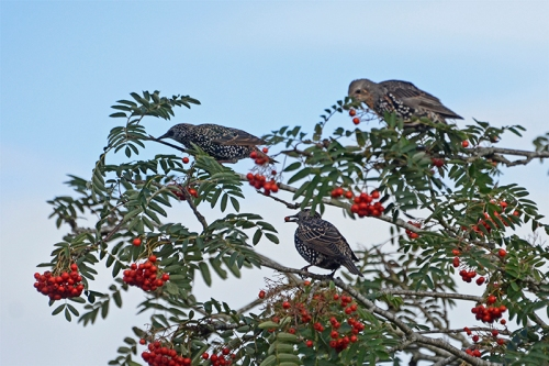 three birds in rowan