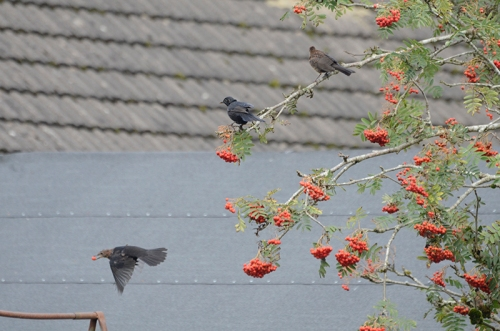 three blackbirds on rowan