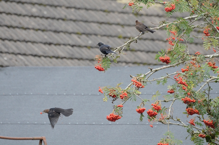 three blackbirds on rowan