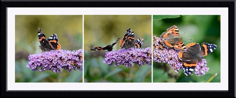 three butterflies on buddeias