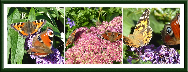 three butterfly pairs