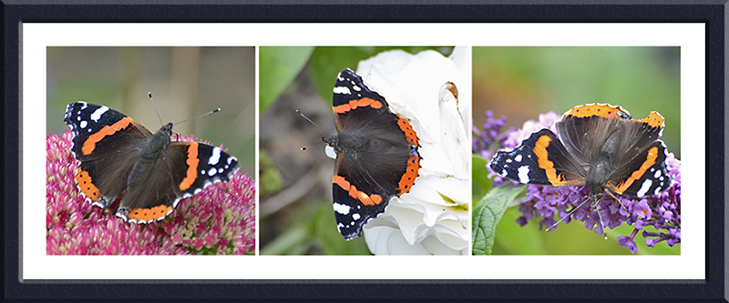 three red admiral butterflies