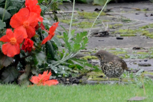thrush and begonia
