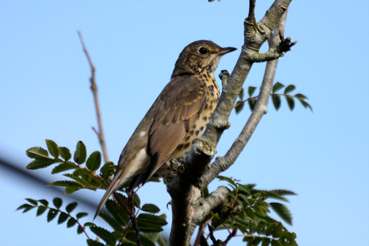 thrush in rowan