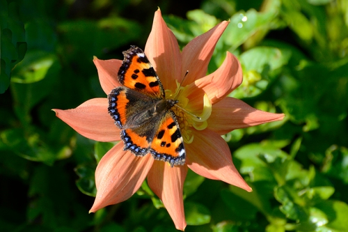 tortoiseshell butterfly on daglia