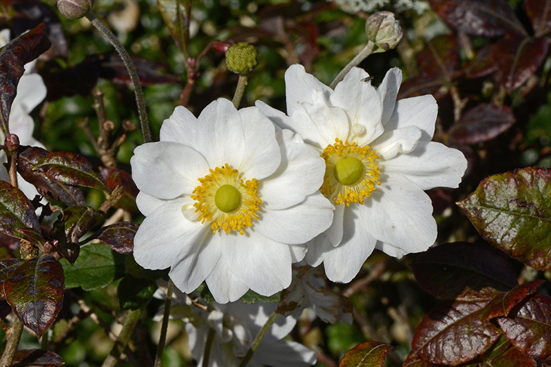 two anemones in azalea