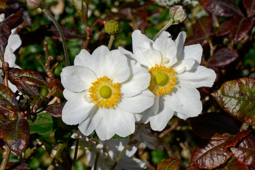 two anemones in azalea