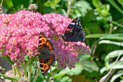 two butterflies on sedum