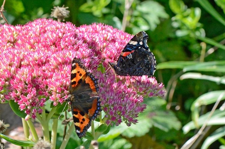 two butterflies on sedum