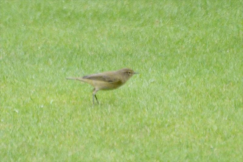 unknown lawn bird