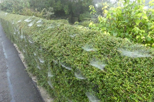webby hedge