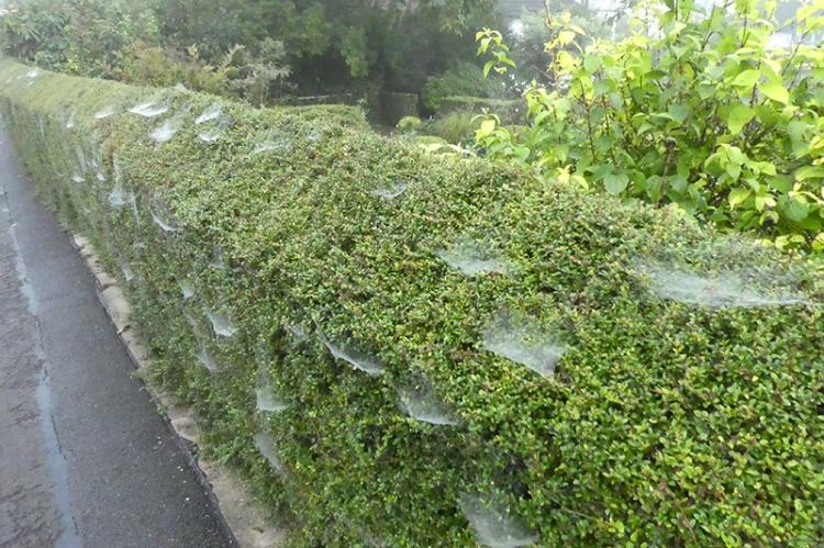webby hedge