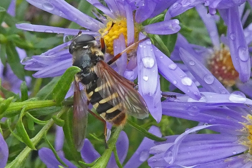 wet michaelmas daisy with hoverfly