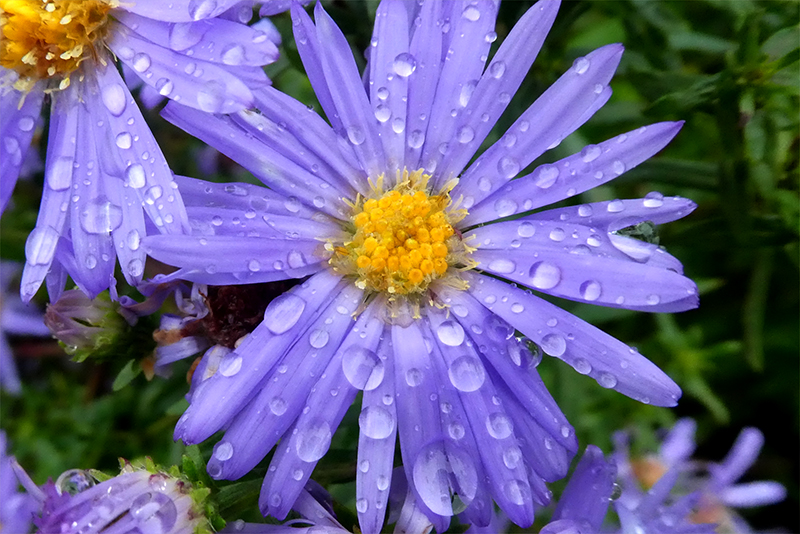 wet michaelmas daisy