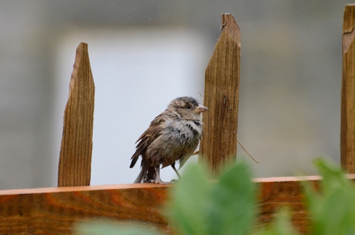 wet sparrow on fence