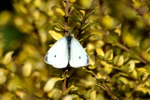white butterfly on spirea