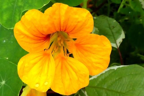 yellow nasturtium