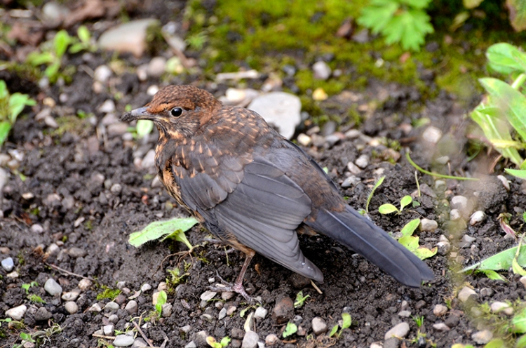 young blackbird on ground